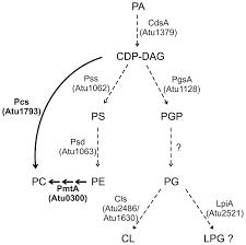 frontiers membrane lipids in agrobacterium tumefaciens