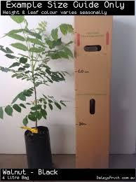walnut black tree juglans nigra
