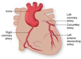 Anatomy Of The Heart Lab Myocardial Bridge Texas Heart Institute Heart Information Center