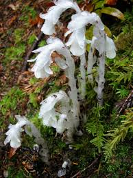 bc native plants monotropa uniflora wikipedia