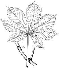 drawn leaf chestnut leaf pencil and in color drawn leaf chestnut