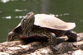 map turtle pa herp identification northern map turtle