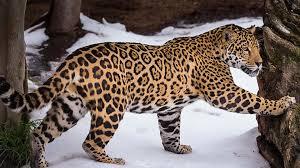 jaguar san diego zoo animals u0026 plants