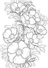 cherokee rose coloring free printable coloring pages