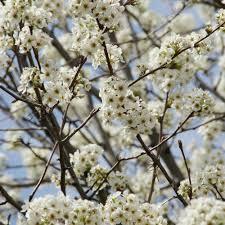 pyrus nivalis buy ornamental snow pear trees upright alpine pear