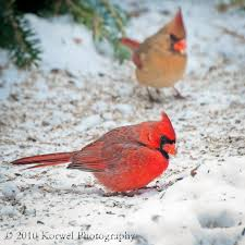 couple of cardinals on snow u2013 korwel photography