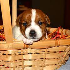 bichon frise jack russell for sale jack russell terrier puppies for sale