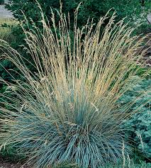 17 top ornamental grasses blue colors plants and steel