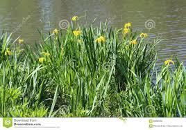 native plants to illinois wild yellow irises iris pseudacorus native to illinois near pond