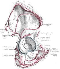 Anatomy Of The Human Body Bones The Hip Bone Human Anatomy