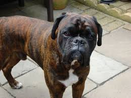 boxer dog health questions wanted red brindle boxer dog puppy hinckley leicestershire
