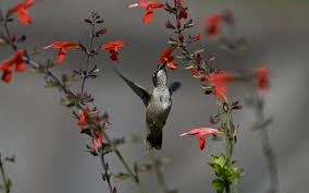 hummingbird wallpapers wallpaper cave