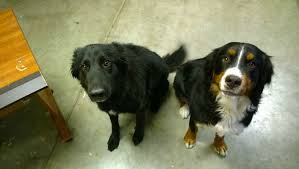 belgian sheepdog mix puppies border collie belgian shepherd mix and bernese mountain dog imgur