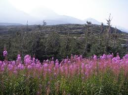 tundra native plants taiga plants can survive in cold and harsh weather conditions