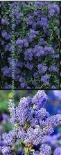 Climbing Plants That Flower All Year - climbing plants direct