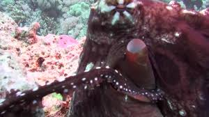 Seeking Octopus With Ecology Of Unknown Octopus Gigazine