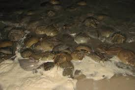 Delaware how fast does the moon travel images Many horseshoe crabs and birds on delaware bay jpg