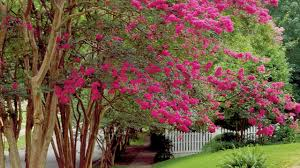 trees with pink flowers the complete guide to crepe myrtle trees southern living