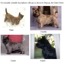 brindle cairn haircut 685 best cairn terrier my dog images on pinterest cairn terrier