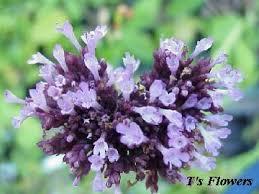 ornamental oregano plants for sale 3 00 plant orignum