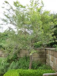 australian native screening plants leptospermum petersonii lemon scented tea tree 4 6m sizes