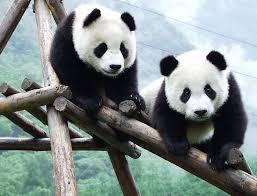 25 giant pandas ideas panda bear baby panda