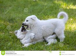 belgian shepherd kennels two white swiss shepherds puppies stock photo image 31933970