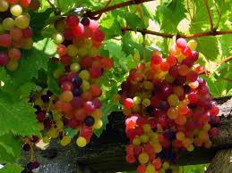 grapes tag red grapes wallpapers images photos pictures and