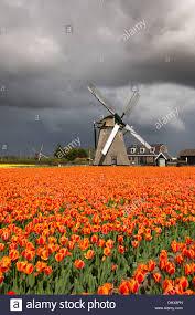 Tulip Field Netherlands Noordwijkerhout Tulip Field Windmills And Dark