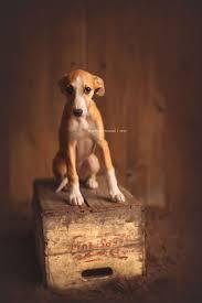 Emma Freud Rabbit Hutch 78 Best Whippet Good Images On Pinterest Greyhounds Italian