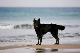 belgian sheepdog uk belgian sheepdog dog breed gallery