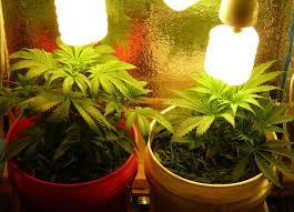 cfl lights for growing weed grow lights fluorescent purplebirdblog com