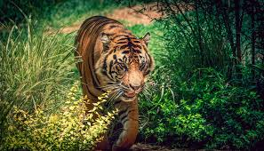 tiger in the jungle tigers bengal tiger and beautiful cats