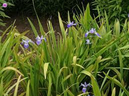 Iris by German Iris Iris Germanica Flowers Naturegate