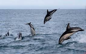 Male Dolphin Anatomy Dusky Dolphin Lagenorhynchus Obscurus Dolphin Facts And