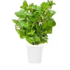 click and grow peppermint plant refill 3 pack for smart herb
