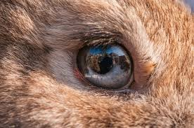 The Blind Spot In The Eye Is Due To Rabbit Eyes Common Eye Problems And Issues In Rabbits