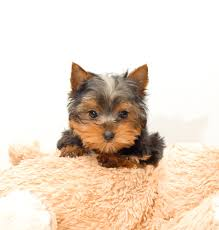 cute teacup yorkie pictures all puppies pictures and wallpapers