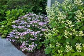 Flowering Shrubs That Like Full Sun - top ten shrubs for containers and small gardens proven winners