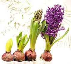 hyacinth flower growing hyacinths