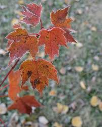 What Are The Gardening Zones - maple trees for zone 3 gardens u2013 tips on selecting cold hardy maples