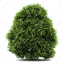 12913197 common bush isolated on white background stock