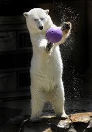 polar bear the maryland zoo in baltimore