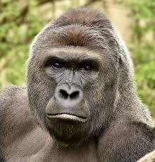 Gorilla by Gorilla Death At Cincinnati Zoo Puts Debate Over Captive Creatures