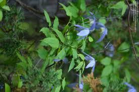 plantfiles pictures clematis species blue virgin u0027s bower rock