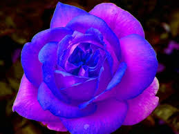 purple and blue flowers purple and blue roses lime garden
