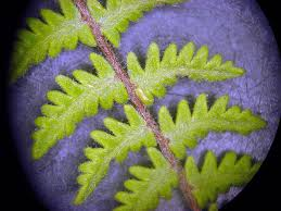 vascular plants of the gila wilderness vascular plants of the gila wilderness cheilanthes bonariensis