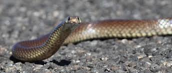 Blind Snake Hawaii Snakes Archives Science Sushi Science Sushi