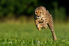 world u0027s fastest cheetah featured in national geographic dies