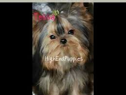 teacup yorkie haircuts pictures micro adult female teacup yorkie with baby doll face thick coat